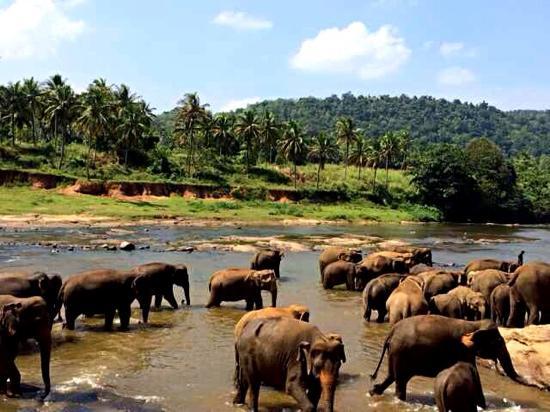 Pinnawala Elephant Orphanage: 大象洗澡
