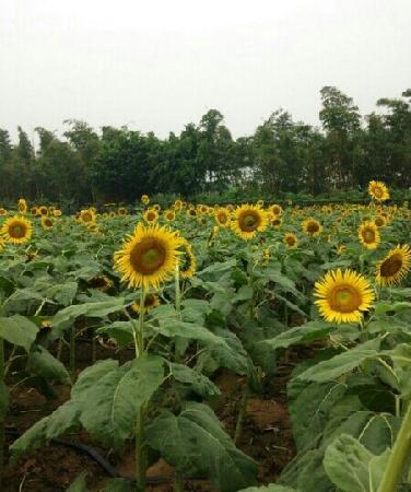 Sunflower Garden: 向日葵