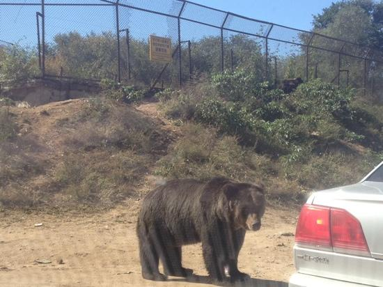Badaling Wildlife Park: 大黑熊