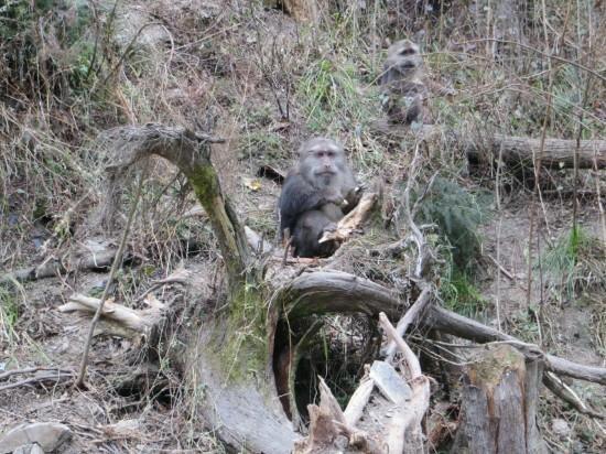 Jiufengshan Scenic Resort: 猴子