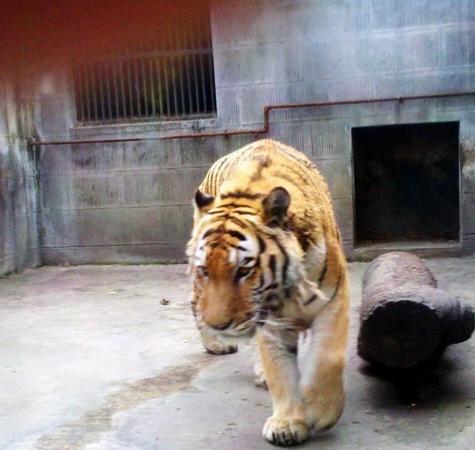 Chengdu Zoo: 老虎