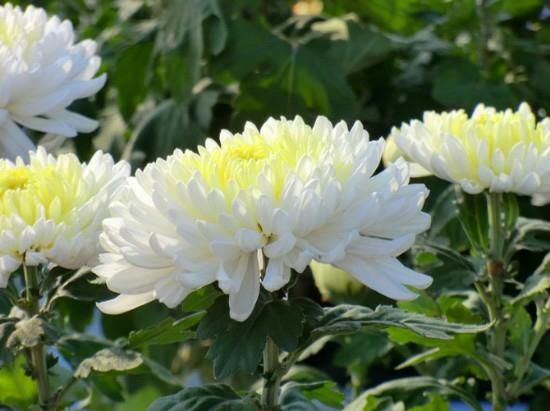 Chrysanthemum Village