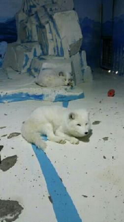 Harbin Polarland: 极地狐狸