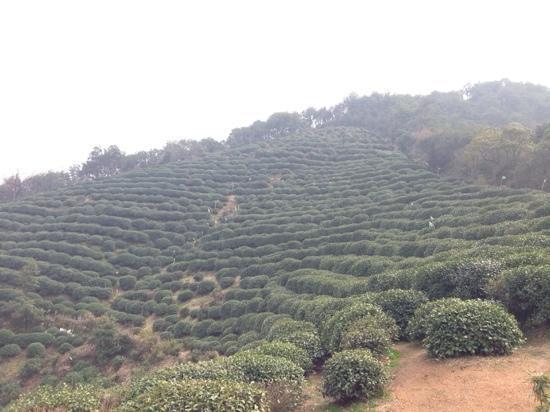 Longjing tea fields : 茶田