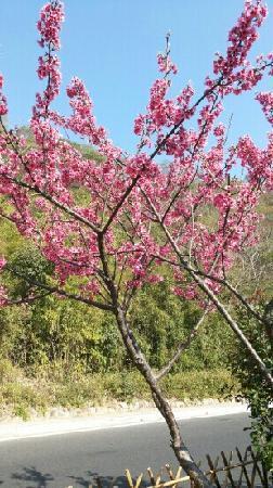 Yunding Mountain: 山樱花