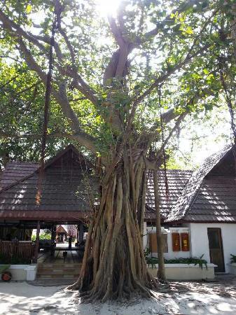 Club Med Kani: 卡尼岛的标志大榕树