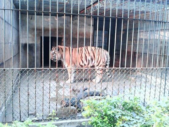 Wuhan Zoo: 老虎