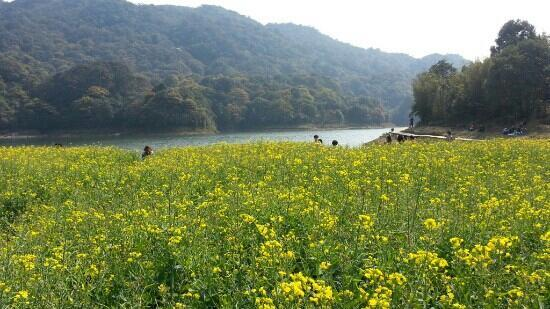 Shimen National Forest Park: 油菜花开了