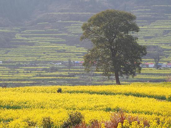 Wuyuan Rape Flower Scenic Spot: 江岭梯田