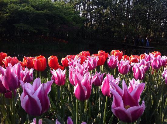 Prince Bay Park: 郁金香们