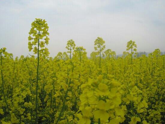 Menyuan Rape Flower Scenic Spot: 门源金黄的油菜花
