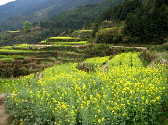 Wuyuan Rape Flower Scenic Spot: 婺源油菜花地