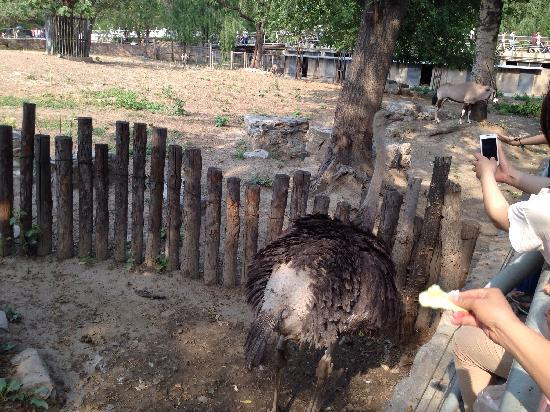 Beijing Zoo: 北京动物园的大鸵鸟