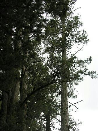 Jiange County, China: 高大的柏树