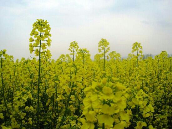Menyuan Rape Flower Scenic Spot: 门源当地的一大特色