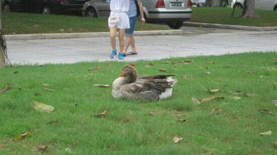 Jimei Tourist Area: 哈哈这里还有野鸭