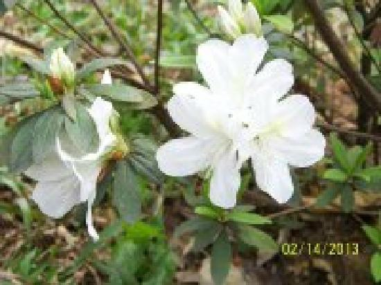 Huangpu Park: 白色的杜鹃花