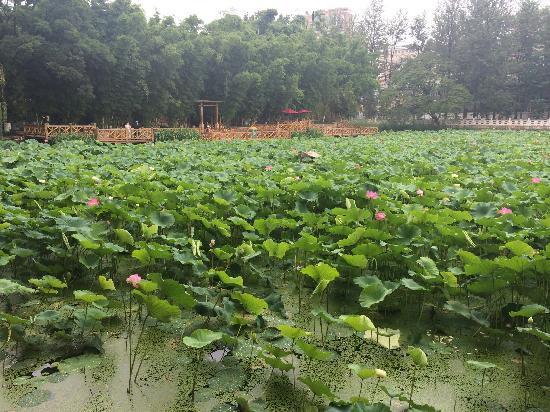 Jindian Park: 金殿公园荷花盛开