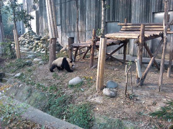 Giant Panda Breeding Research Base (Xiongmao Jidi): 可爱的大熊猫