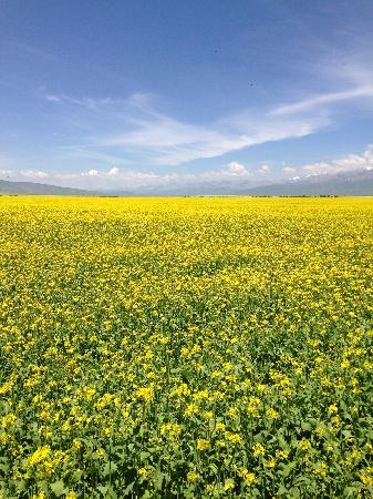 Menyuan Rape Flower Scenic Spot: 很漂亮