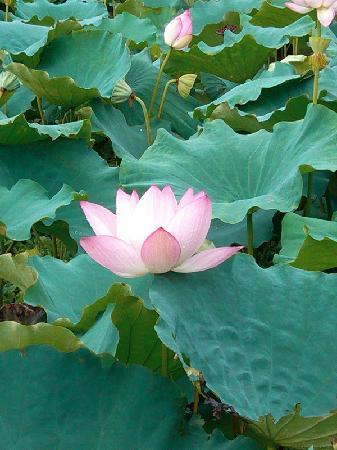 Sanshui Lotus World: 荷花