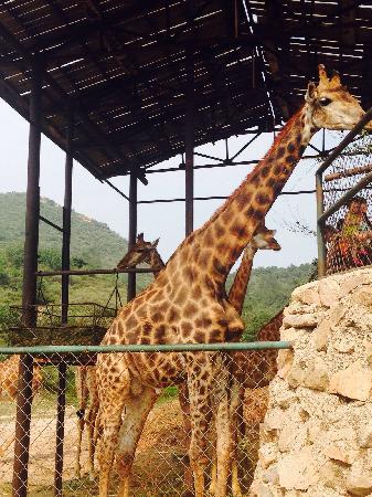 Badaling Wildlife Park: 非洲动物区