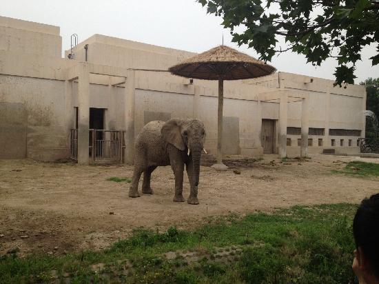 Beijing Zoo: 非洲象