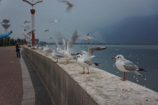 Dian Lake (Dian Chi): 堤边的红嘴鸥