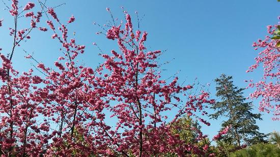Taohua Scenic Resort: 火红的桃花