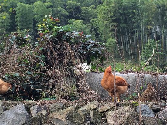 Naturalhome Hotel Moganshan Deqing : 晨跑路上的走地鸡