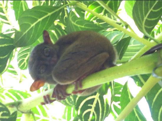 Tarsier Conservation Area: 眼镜猴