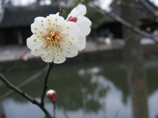 Suzhou Plum Garden: 梅园之春