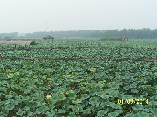 Xinhe County, Chiny: 白洋淀的荷花