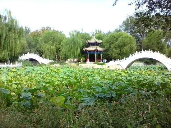 Xigu Park : 西沽公园的荷塘