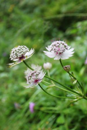 Grindelwald, Suiza: 野花