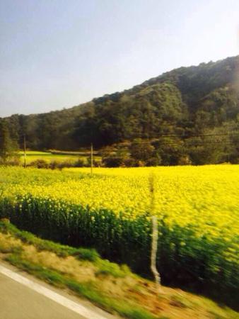 Wuyuan Rape Flower Scenic Spot: 婺源
