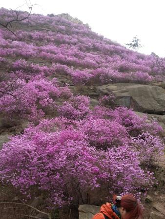 Jiaonan, China: 漫山遍野的杜鹃花,很美!