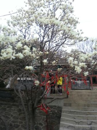 Beizhen, Kina: 4月中旬盛开的白玉兰花!
