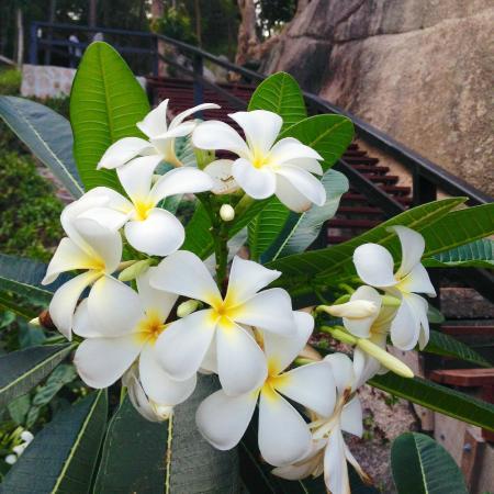 Ao Muong Resort: 鸡蛋花