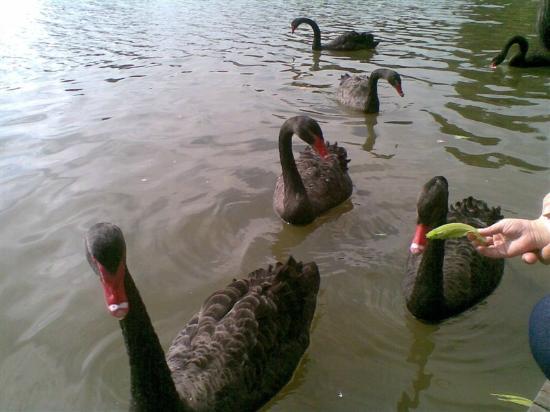 Wuyuanwan Wetland Park: 黑天鹅