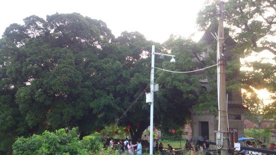 Daqitou Village: 最喜欢村中的大榕树
