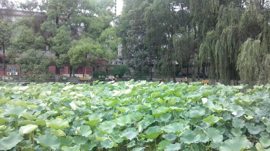 Sichuan University: 荷花池