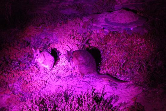 Penneshaw, Australia: 小袋鼠