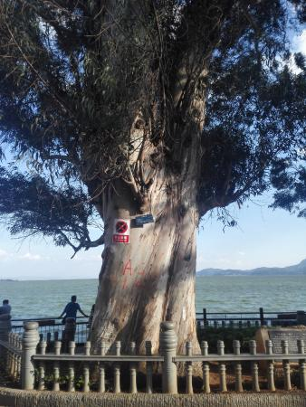 Haigeng Park: 古树~