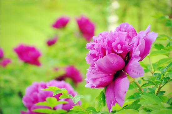 Peony Garden : 长春牡丹园的牡丹花