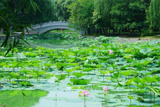 Shenyang, China: 北陵公园的荷塘