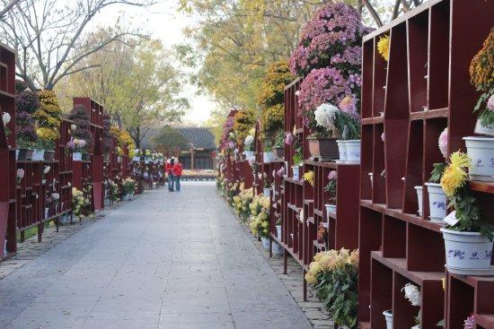 Kaifeng, Chine : 园内菊花展