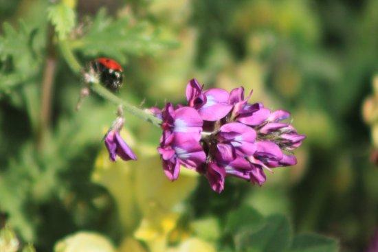 Burqin County, Çin: 斑点虫