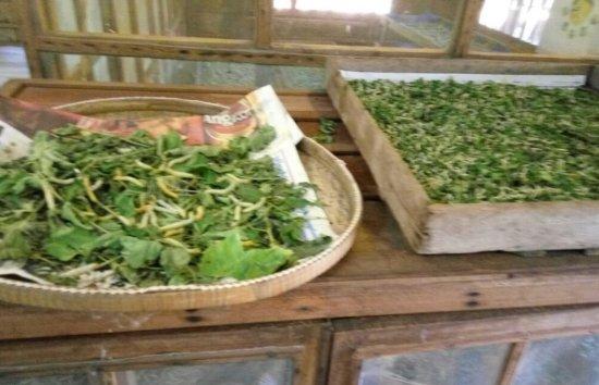 Angkor Silk Farm : 养蚕过程