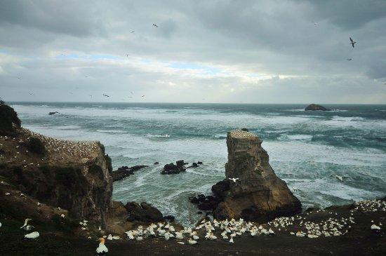 Muriwai Beach, New Zealand: 著名的塘鹅栖息地